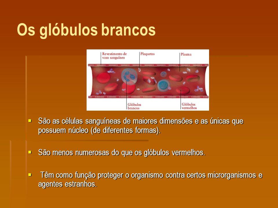 Os glóbulos brancos São as células sanguíneas de maiores dimensões e as únicas que possuem núcleo (de diferentes formas).