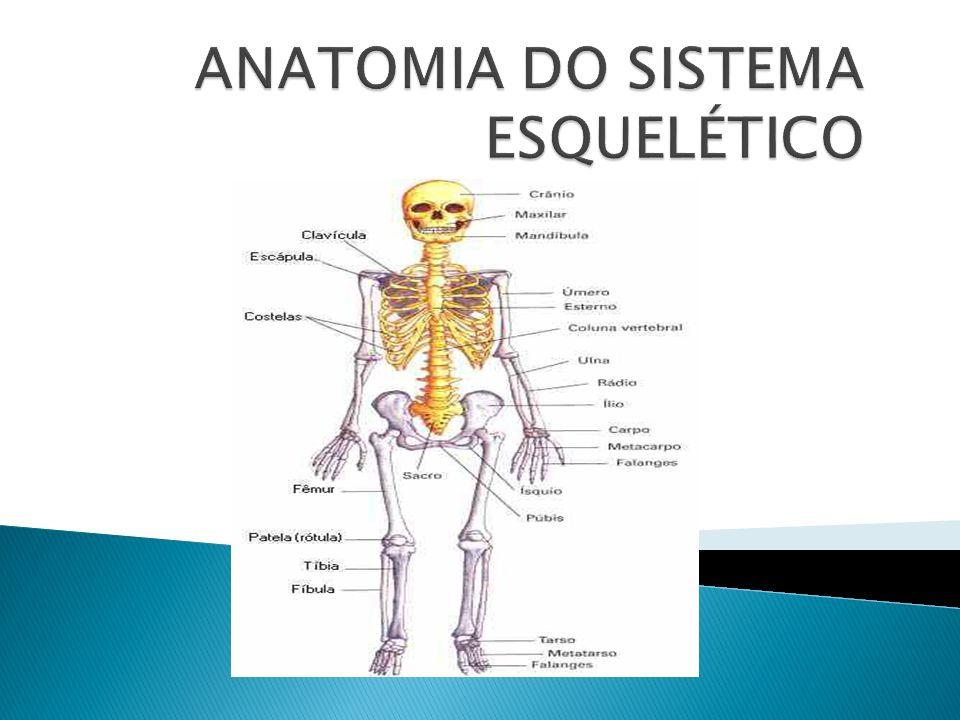 Vistoso Sistema Esquelético Anatomía Arcada Componente - Anatomía de ...