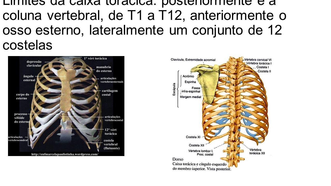 O t rax a regi o que cont m duas estruturas nobres for Esterno e um osso irregular