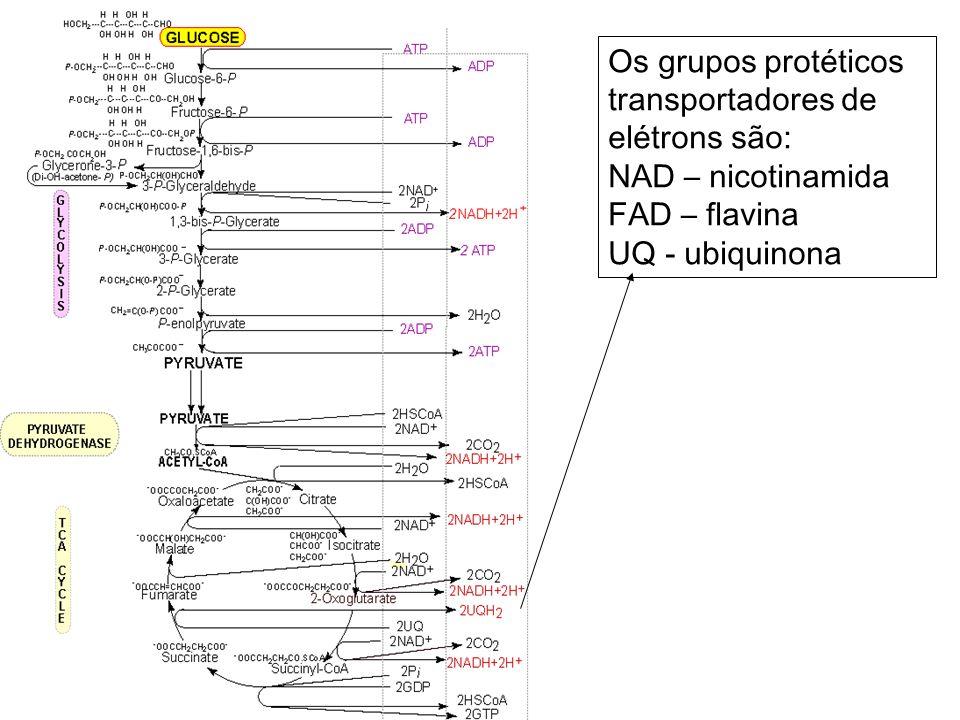 Os grupos protéticos transportadores de elétrons são:
