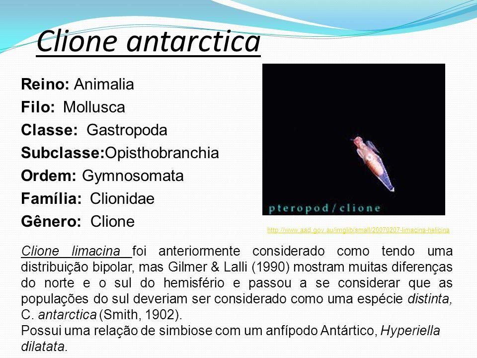Clione antarctica Reino: Animalia Filo: Mollusca Classe: Gastropoda