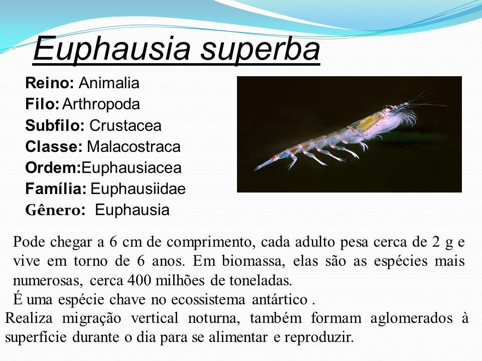 Euphausia superba Reino: Animalia Filo: Arthropoda Subfilo: Crustacea