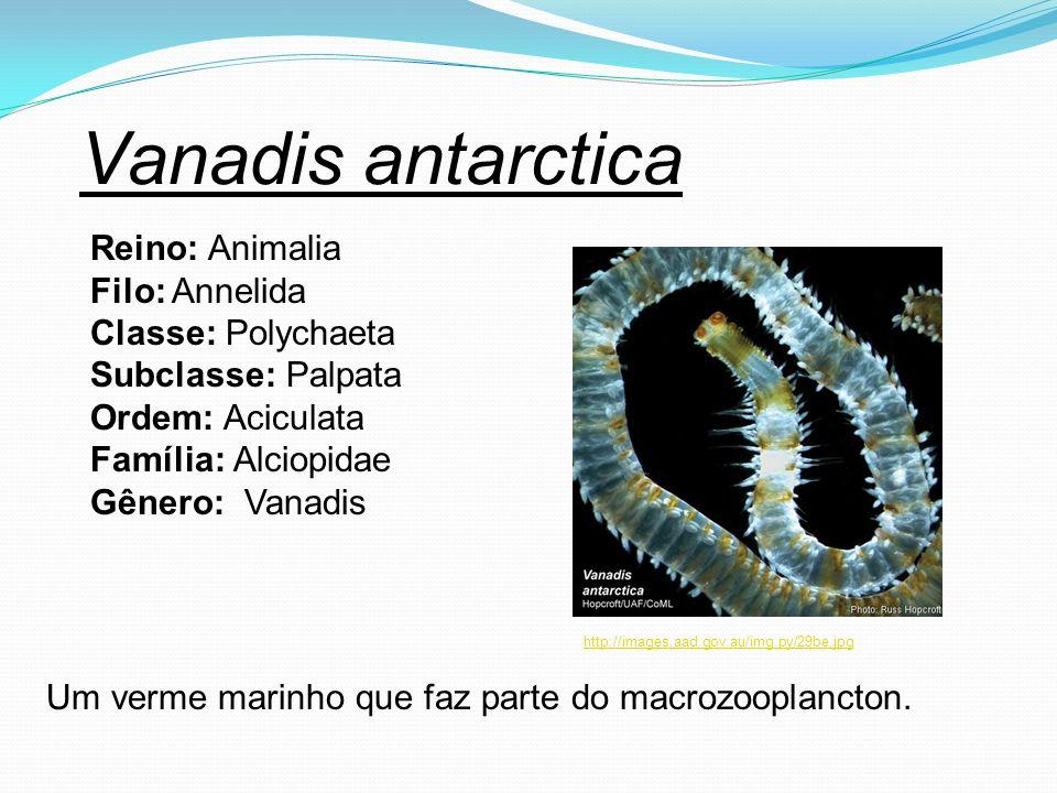 Vanadis antarctica Reino: Animalia Filo: Annelida Classe: Polychaeta