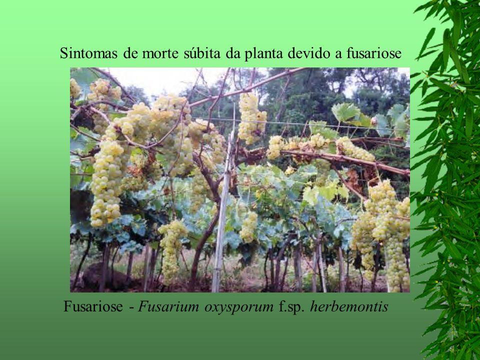 Sintomas de morte súbita da planta devido a fusariose