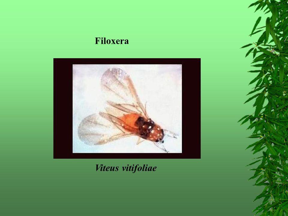 Filoxera Viteus vitifoliae