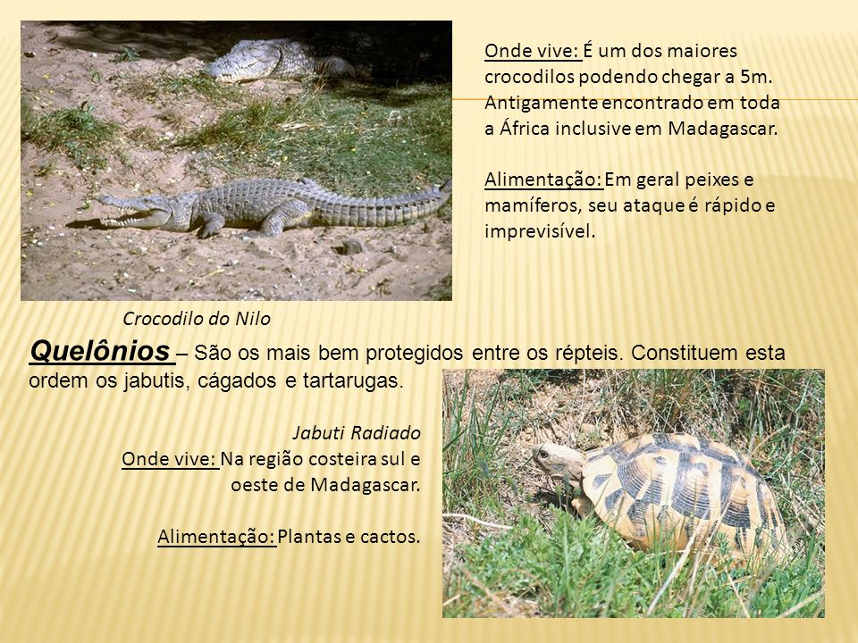 Onde vive: É um dos maiores crocodilos podendo chegar a 5m