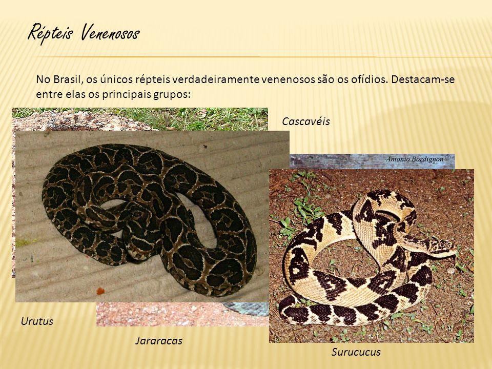 Répteis Venenosos No Brasil, os únicos répteis verdadeiramente venenosos são os ofídios. Destacam-se entre elas os principais grupos: