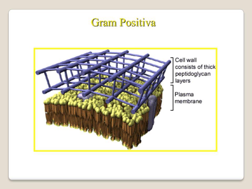 Gram Positiva