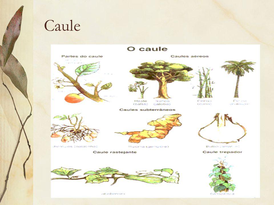 Caule