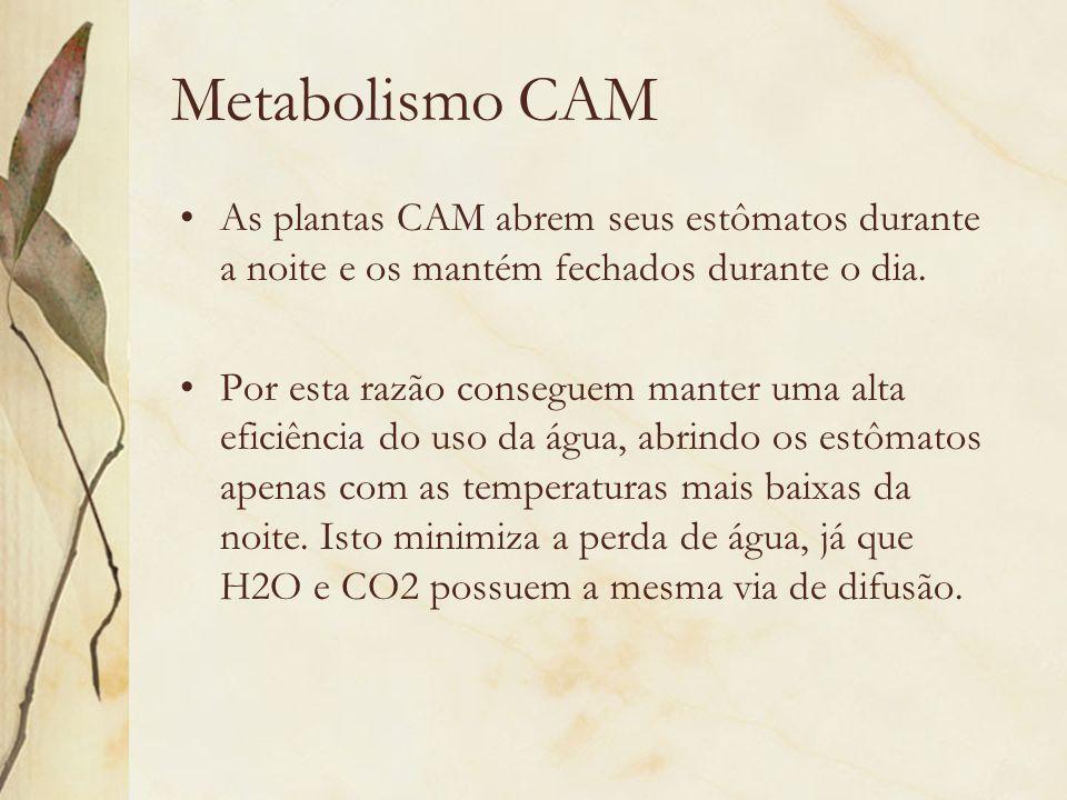 Metabolismo CAM As plantas CAM abrem seus estômatos durante a noite e os mantém fechados durante o dia.