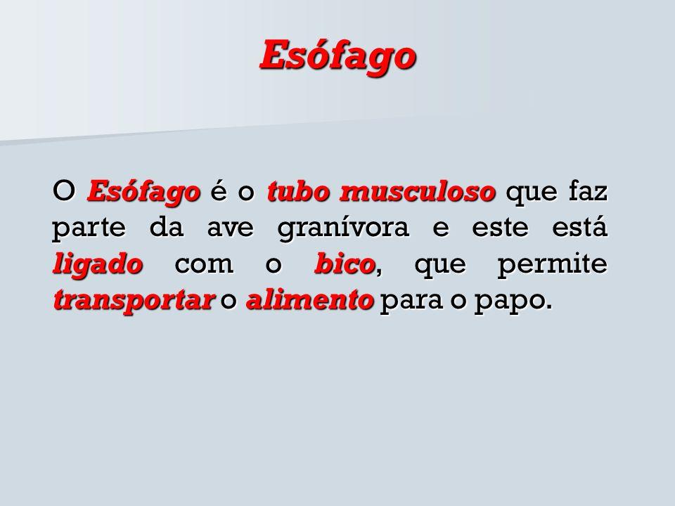EsófagoO Esófago é o tubo musculoso que faz parte da ave granívora e este está ligado com o bico, que permite transportar o alimento para o papo.
