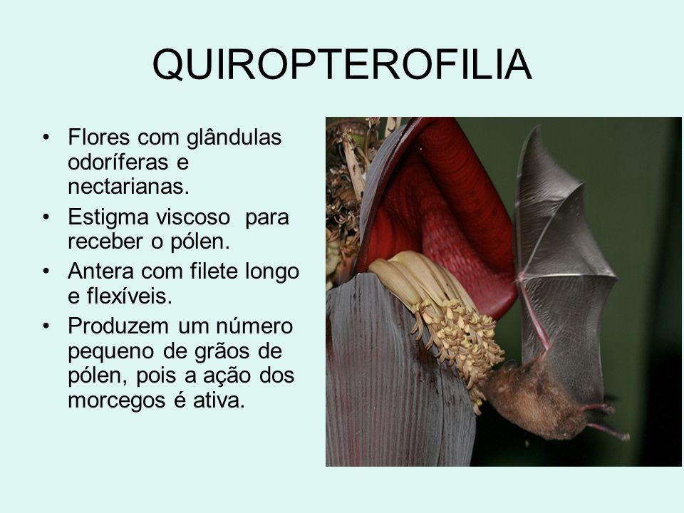 QUIROPTEROFILIA Flores com glândulas odoríferas e nectarianas.