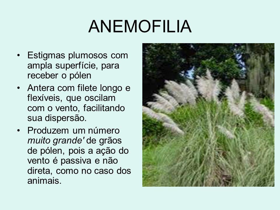 ANEMOFILIA Estigmas plumosos com ampla superfície, para receber o pólen.