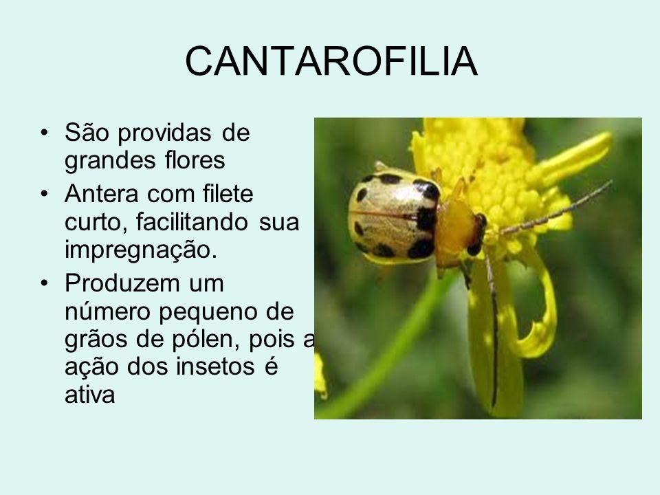 CANTAROFILIA São providas de grandes flores