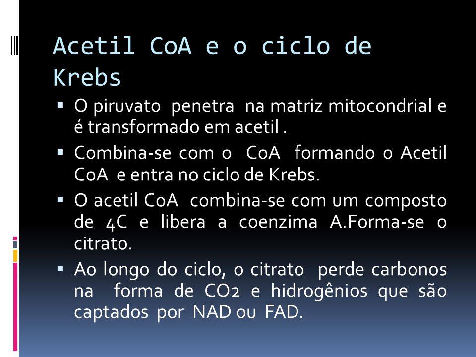 Acetil CoA e o ciclo de Krebs