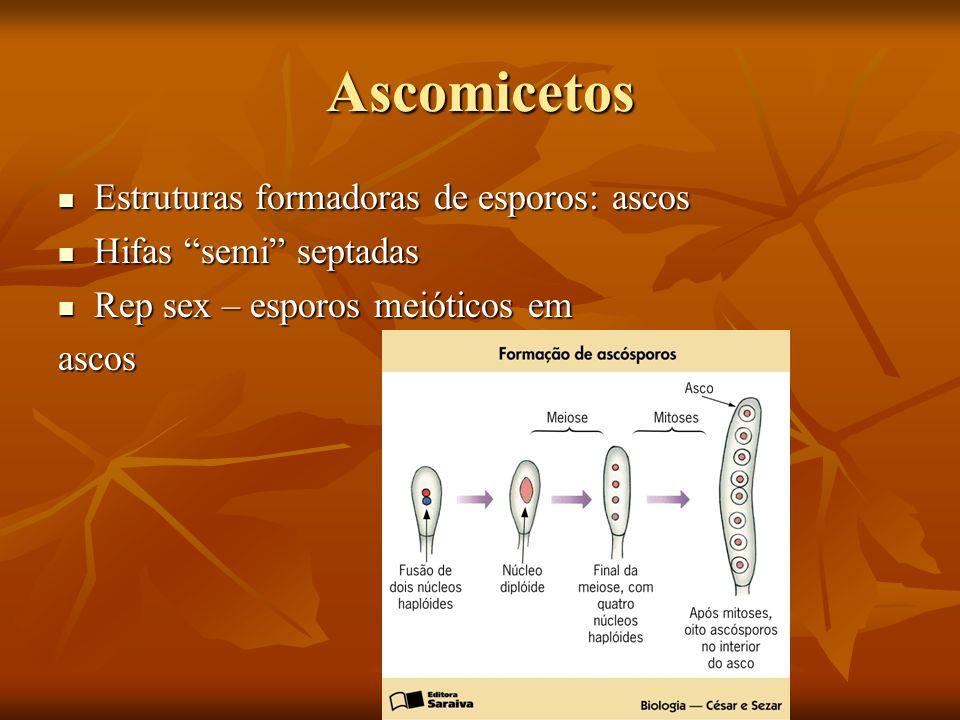 Ascomicetos Estruturas formadoras de esporos: ascos