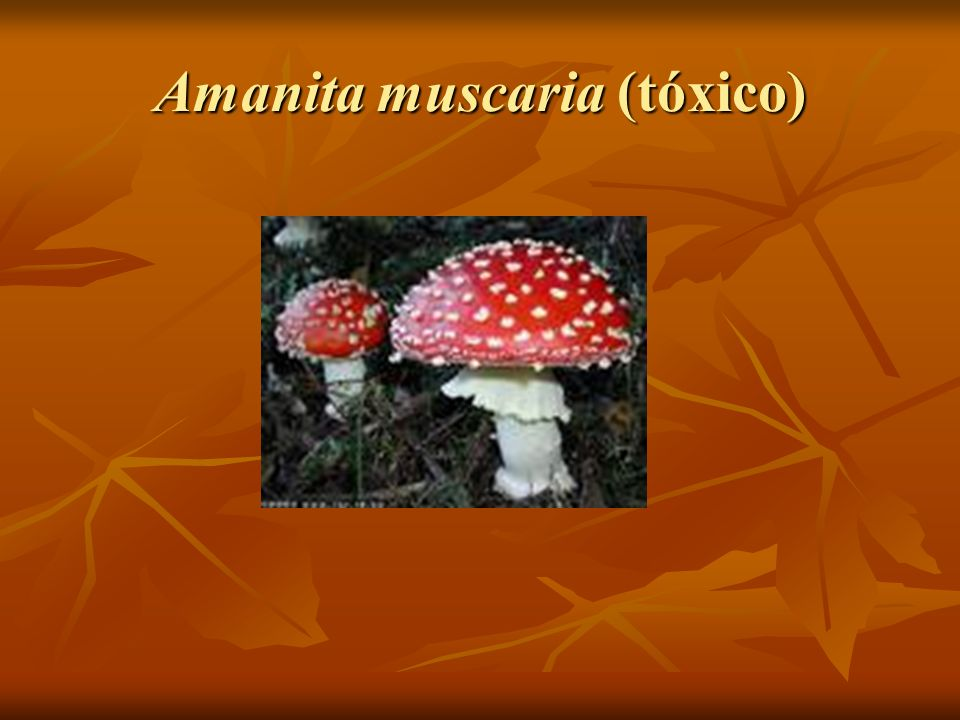 Amanita muscaria (tóxico)
