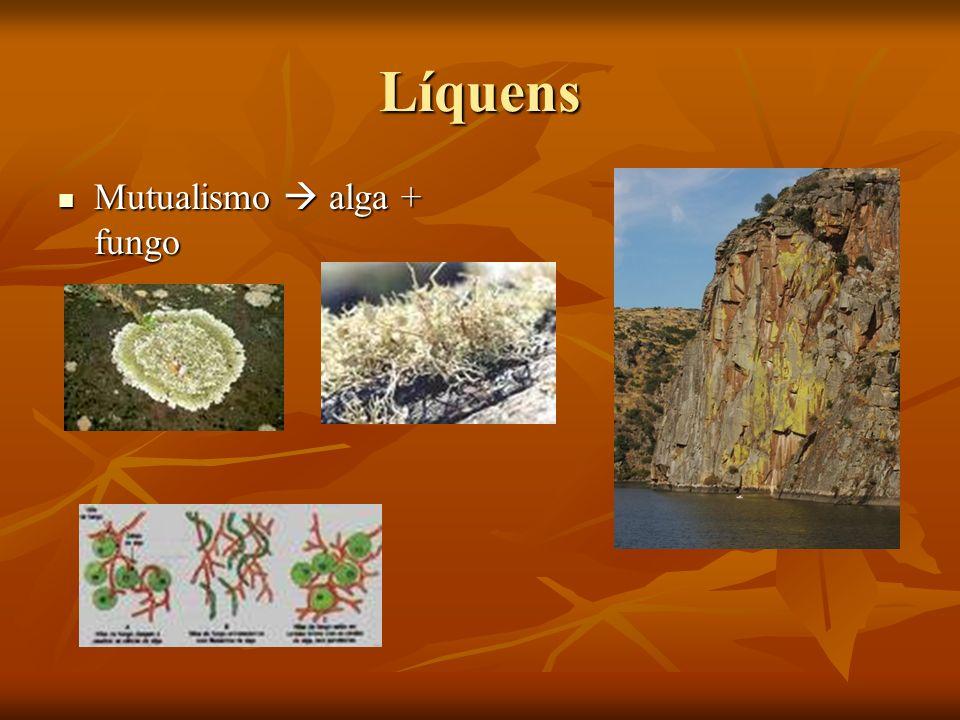Líquens Mutualismo  alga + fungo