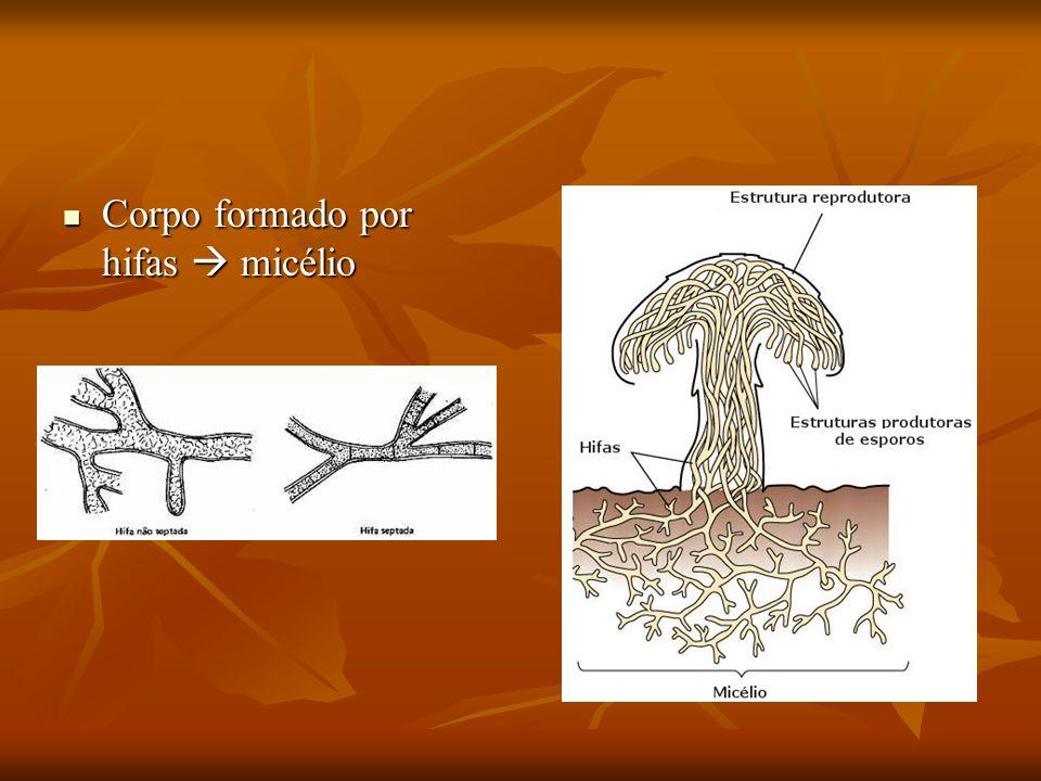 Corpo formado por hifas  micélio