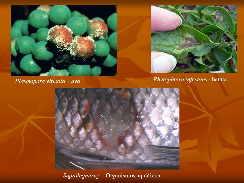 Phytophtora infestans - batata