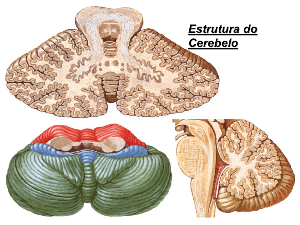 Estrutura do Cerebelo