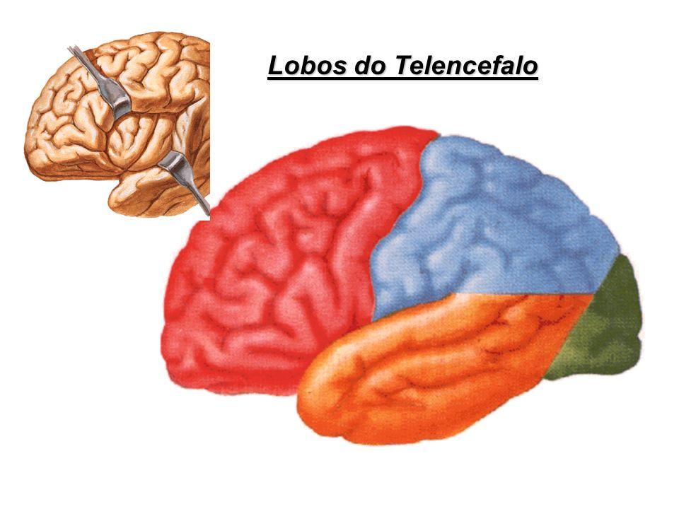 Lobos do Telencefalo