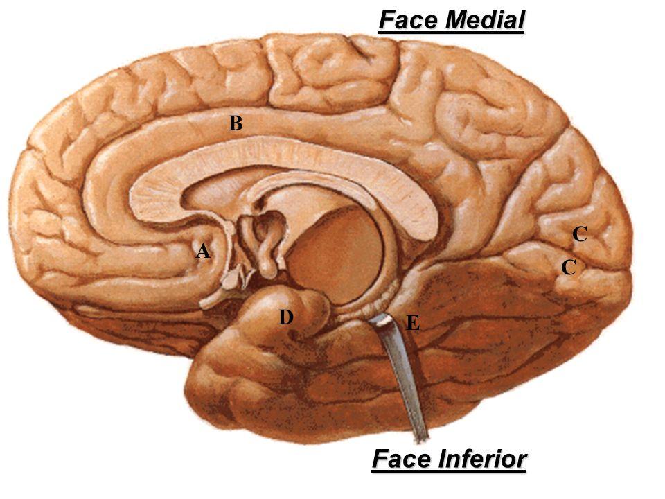 Face Medial B C A C D E Face Inferior