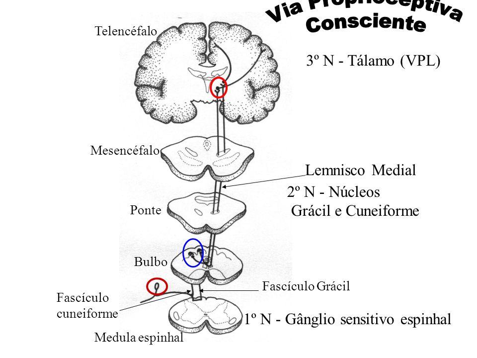 Via Proprioceptiva Consciente 3º N - Tálamo (VPL) Lemnisco Medial