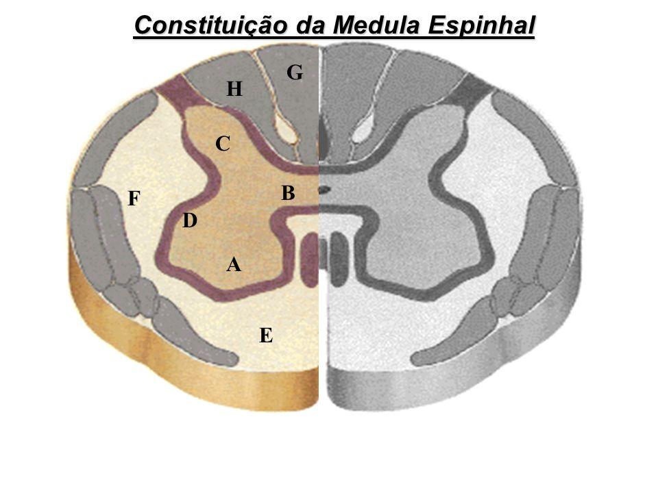 Constituição da Medula Espinhal