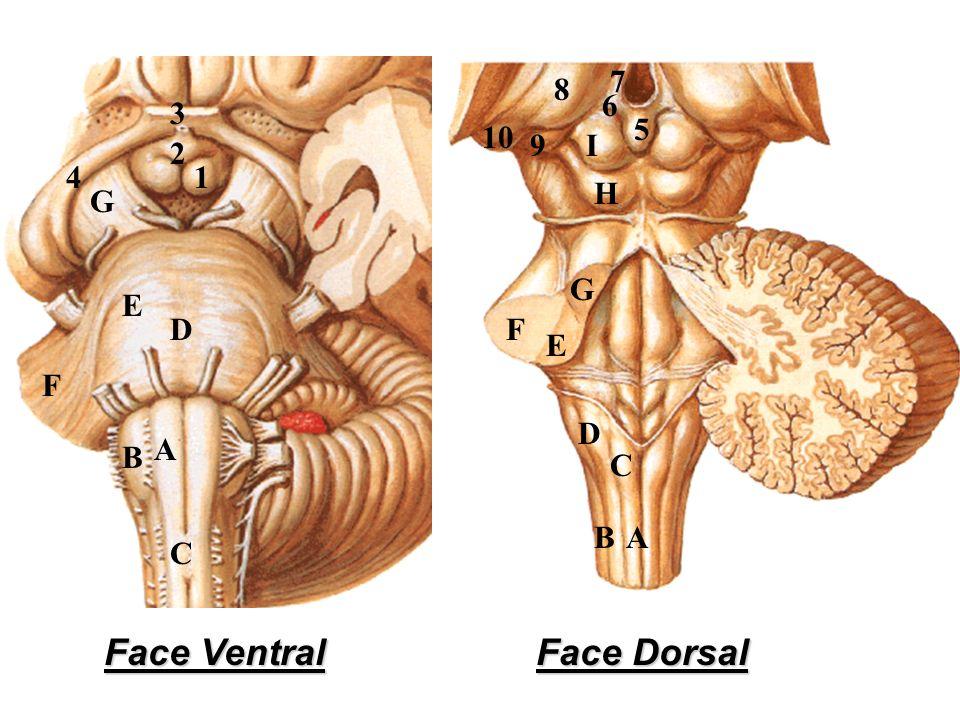 Face Ventral Face Dorsal 7 8 6 3 5 10 9 I 2 4 1 H G G E D F E F D A B