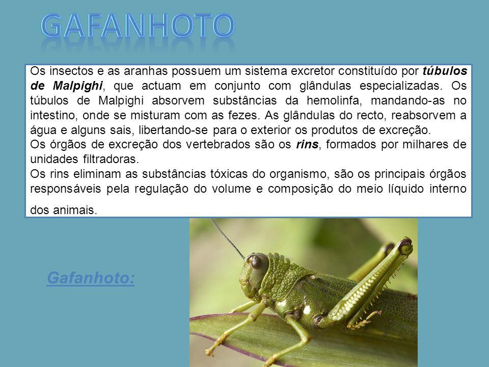 Gafanhoto