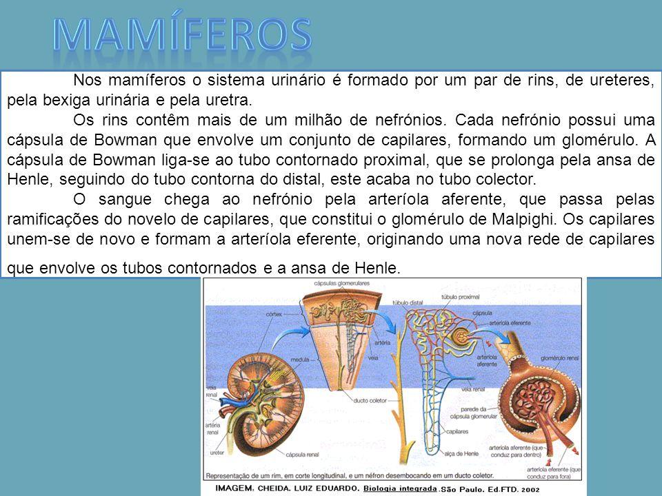 MamíferosNos mamíferos o sistema urinário é formado por um par de rins, de ureteres, pela bexiga urinária e pela uretra.