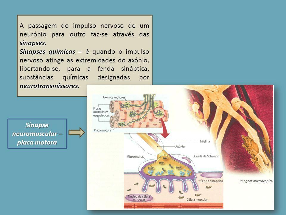 Sinapse neuromuscular – placa motora