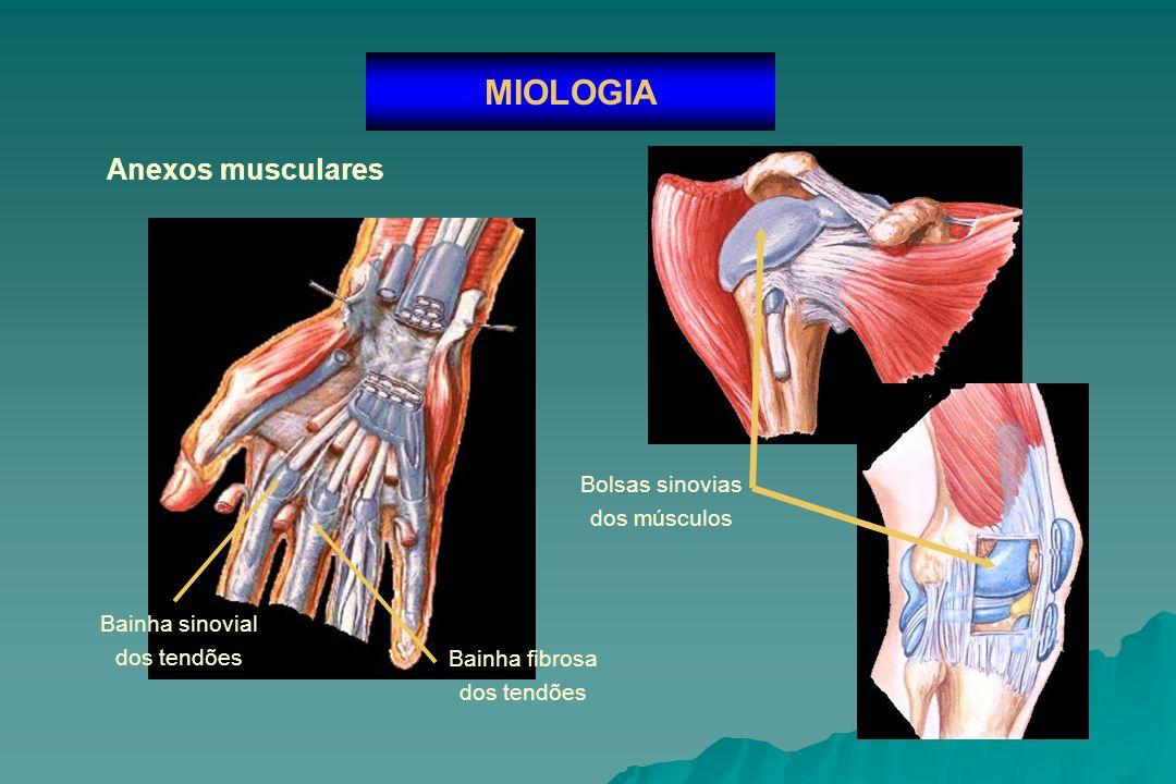 MIOLOGIA Anexos musculares Bolsas sinovias dos músculos