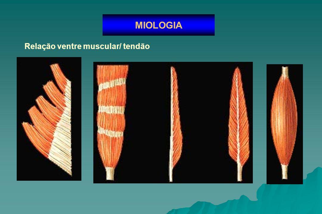 Relação ventre muscular/ tendão