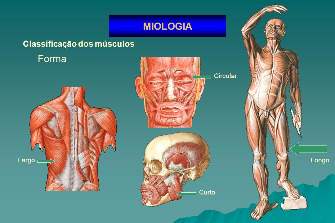 MIOLOGIA Classificação dos músculos Forma Circular Largo Longo Curto
