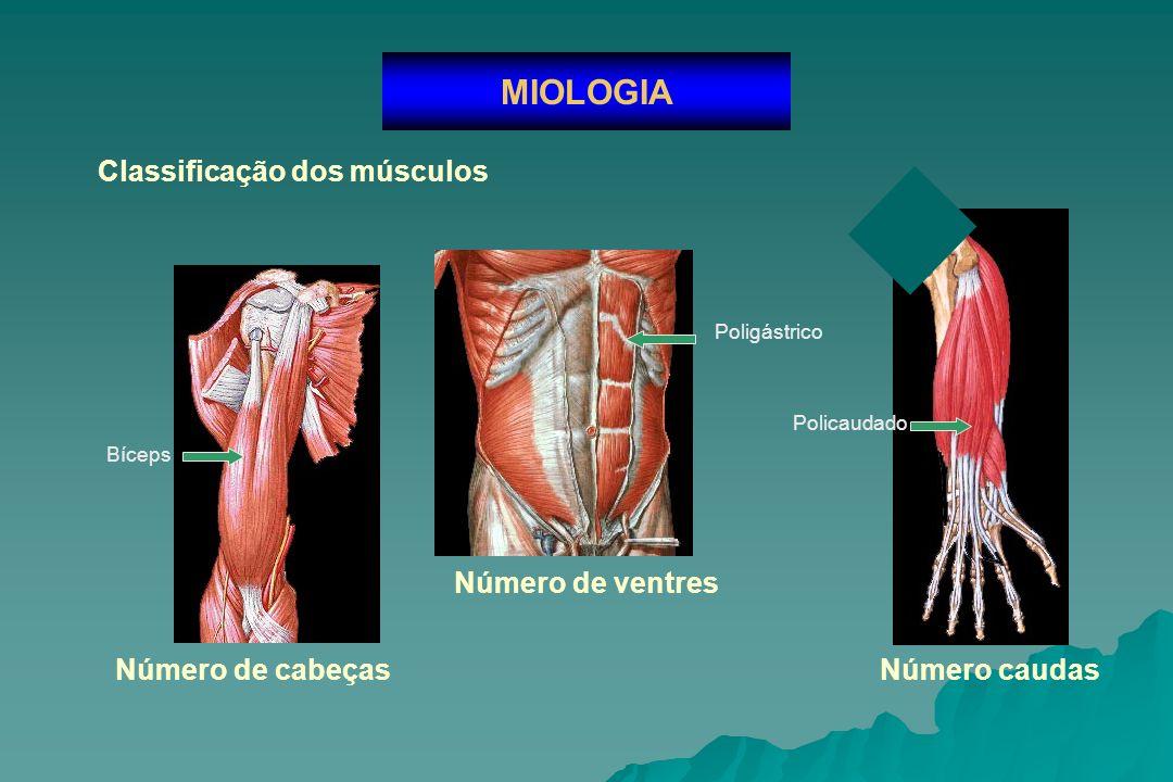 MIOLOGIA Classificação dos músculos Número de ventres