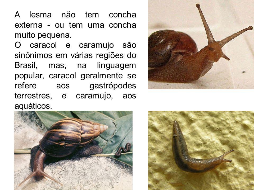 A lesma não tem concha externa - ou tem uma concha muito pequena.