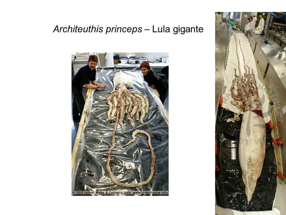 Architeuthis princeps – Lula gigante