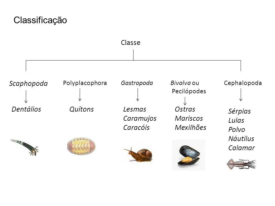 Classificação Classe Scaphopoda Dentálios Quítons Lesmas Caramujos