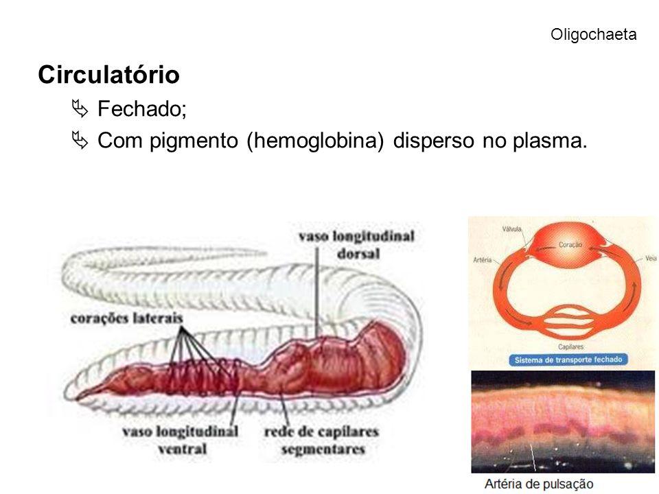 Circulatório Fechado; Com pigmento (hemoglobina) disperso no plasma.