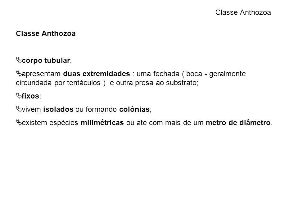 Classe Anthozoa Classe Anthozoa. corpo tubular;