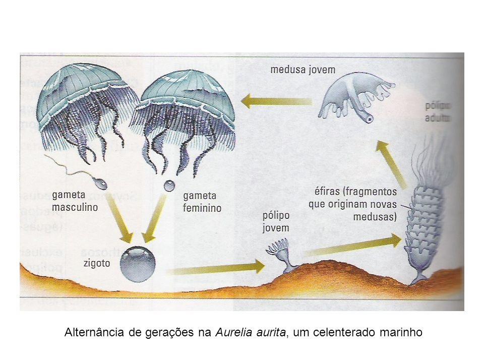 Alternância de gerações na Aurelia aurita, um celenterado marinho