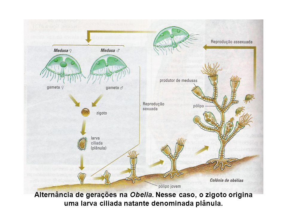 Alternância de gerações na Obelia