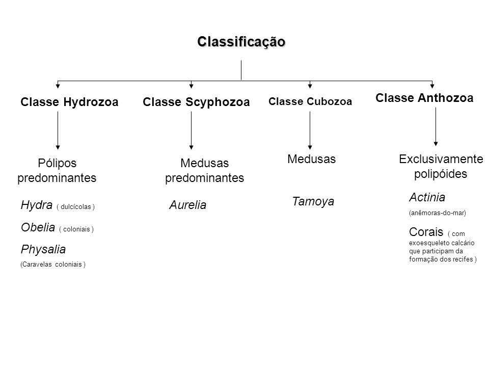 Classificação Classe Anthozoa Classe Hydrozoa Classe Scyphozoa Medusas