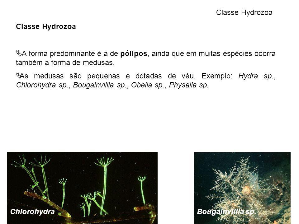 Classe Hydrozoa Classe Hydrozoa. A forma predominante é a de pólipos, ainda que em muitas espécies ocorra também a forma de medusas.