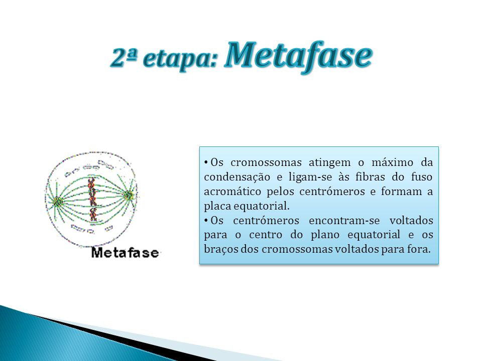 2ª etapa: Metafase
