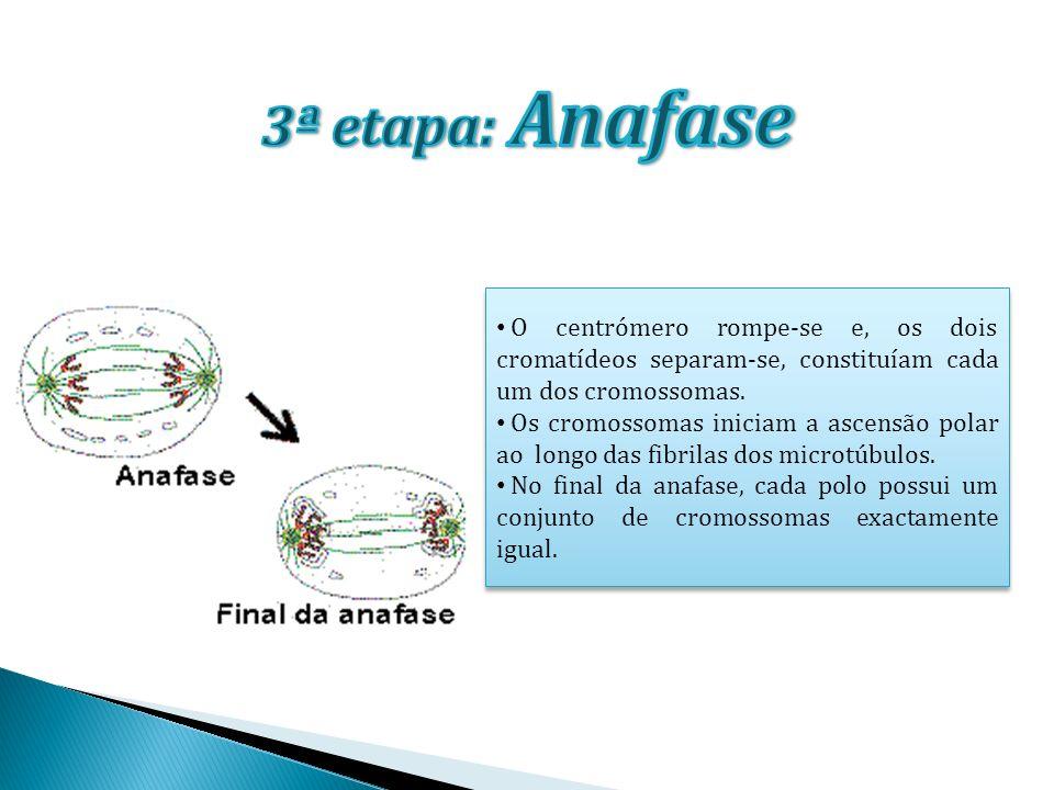 3ª etapa: Anafase O centrómero rompe-se e, os dois cromatídeos separam-se, constituíam cada um dos cromossomas.