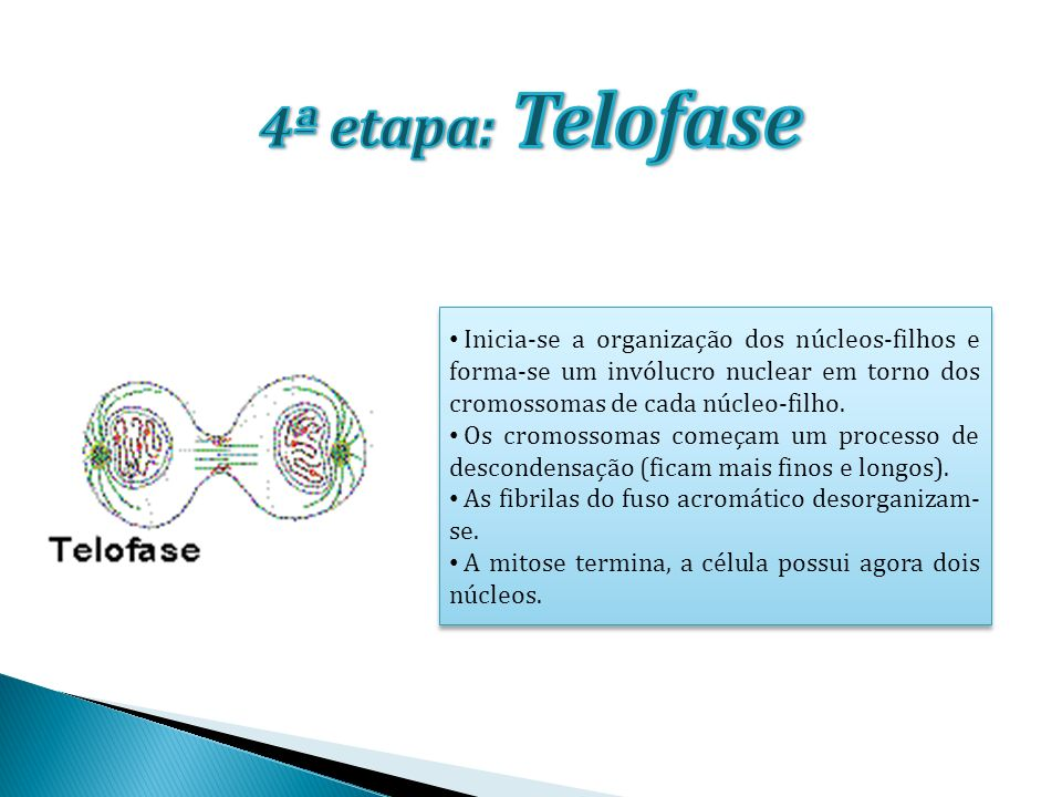 4ª etapa: Telofase Inicia-se a organização dos núcleos-filhos e forma-se um invólucro nuclear em torno dos cromossomas de cada núcleo-filho.