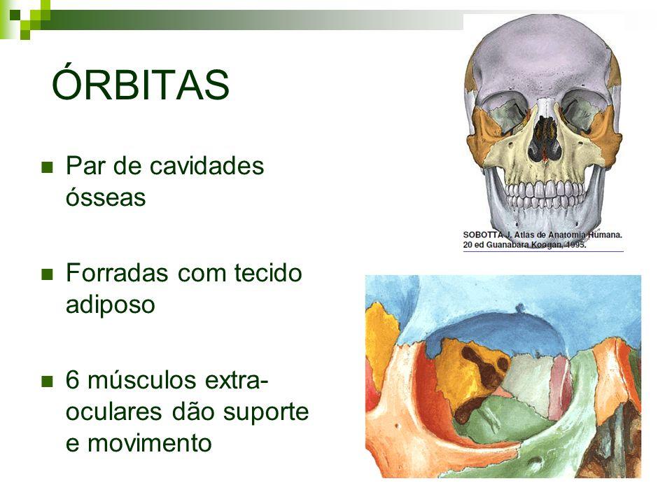 ÓRBITAS Par de cavidades ósseas Forradas com tecido adiposo